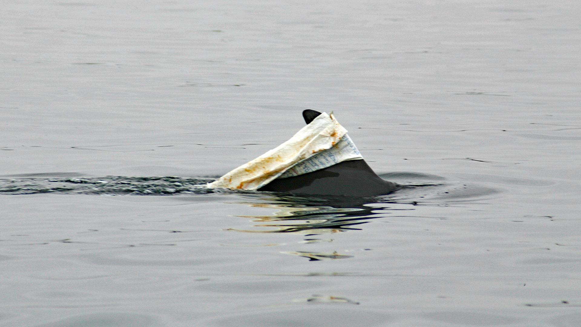 Delfin schwimmt mit einem Plastiksack auf der Finne.