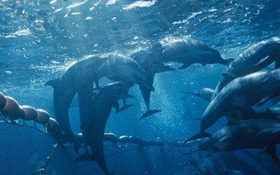 IATTC-Fischerei im östlichen Pazifik gefährdet Delfinbabys