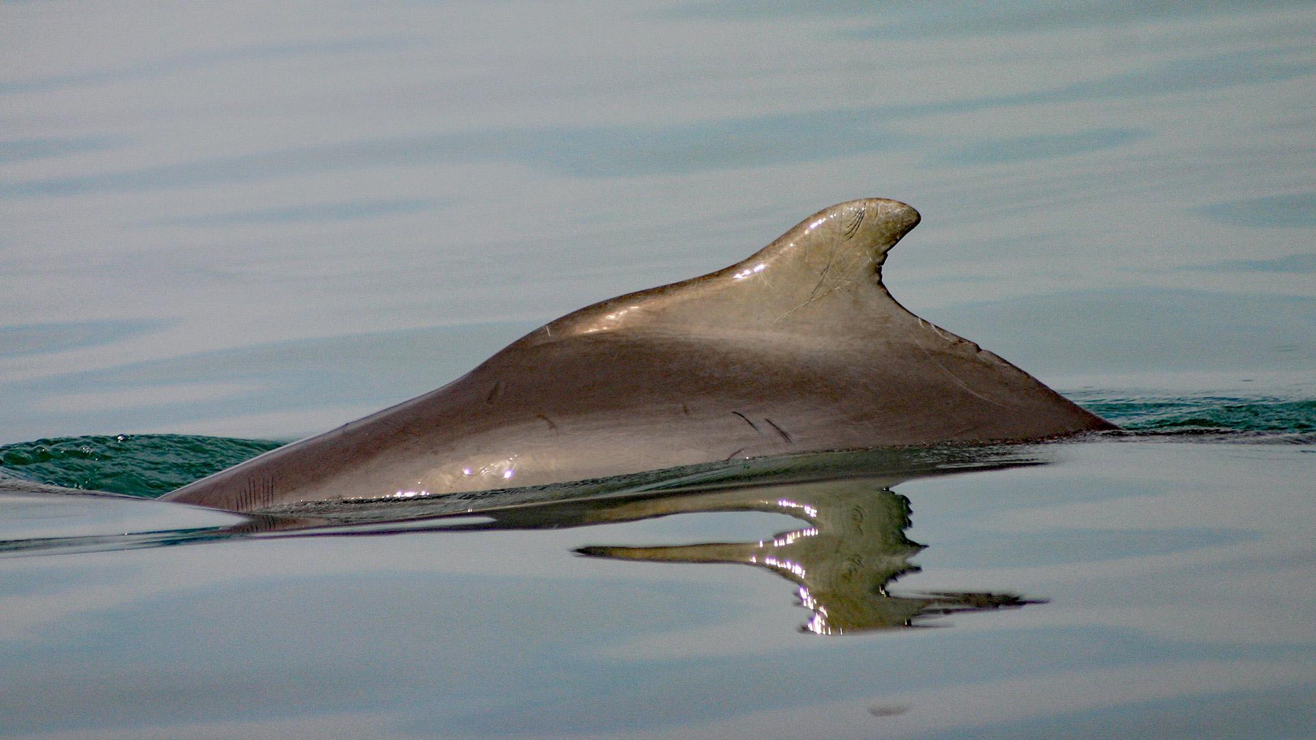 """Mit einer Patenschaft für den Bleifarbenen Delfin """"Mars"""" unterstützen Sie unser Delfinschutz-Projekt an der Küste von Südafrika."""