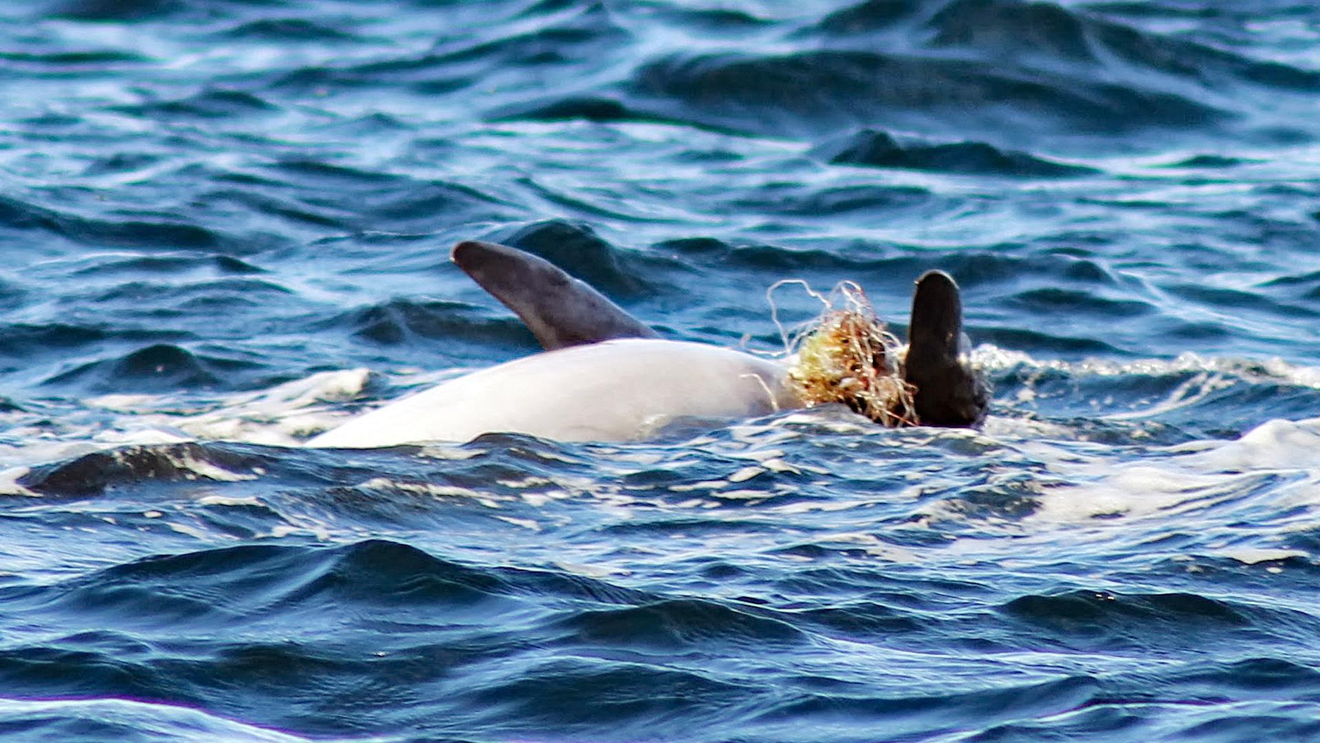 Delfin mit eingewachsenen Netzresten am Flipper.
