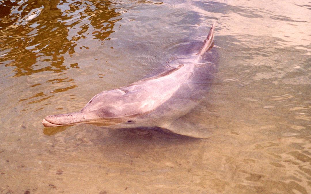 Wieder da: Rosa Delfine vor Hongkong
