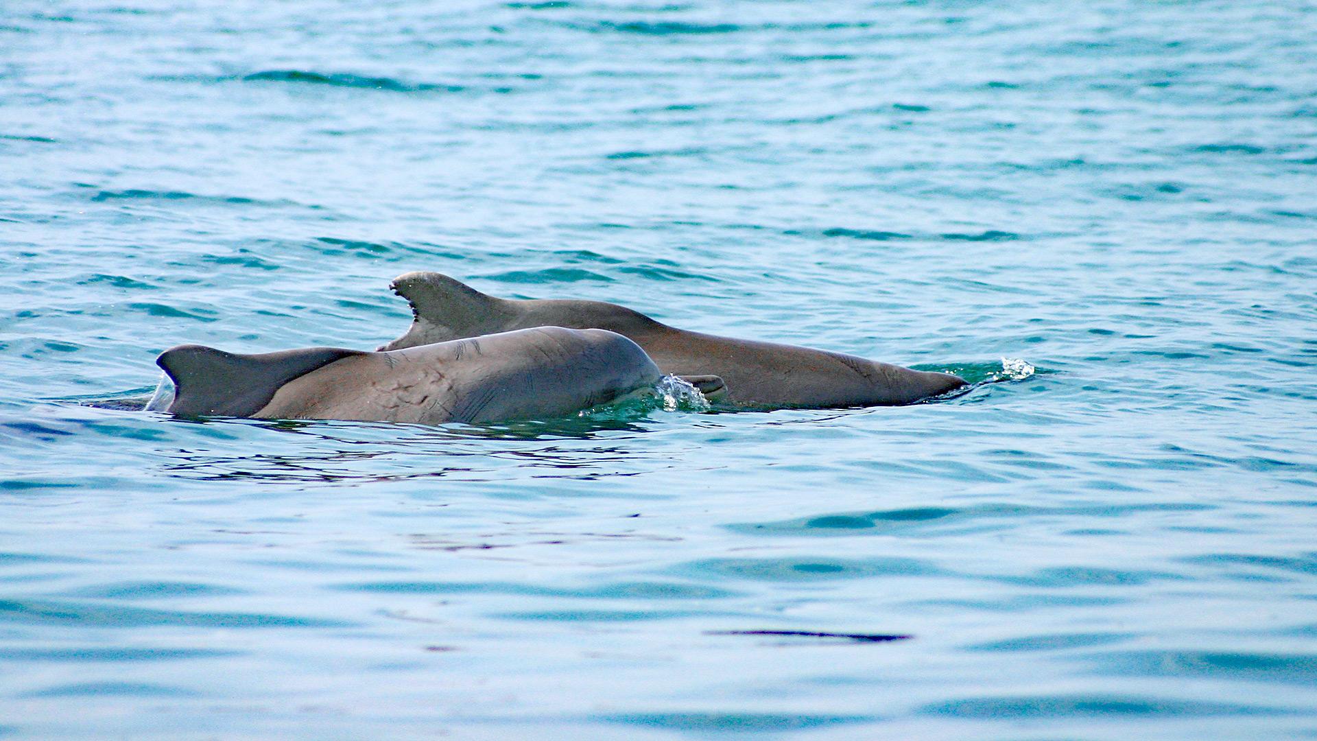 """Mit einer Patenschaft für den Bleifarbenen Delfin """"Venus"""" unterstützen Sie unser Delfinschutz-Projekt an der Küste von Südafrika."""