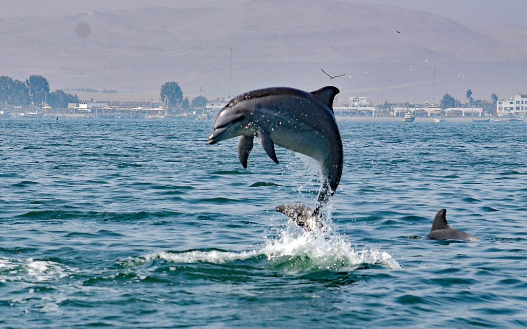 Delfin Kinderstube Paracas-Bucht