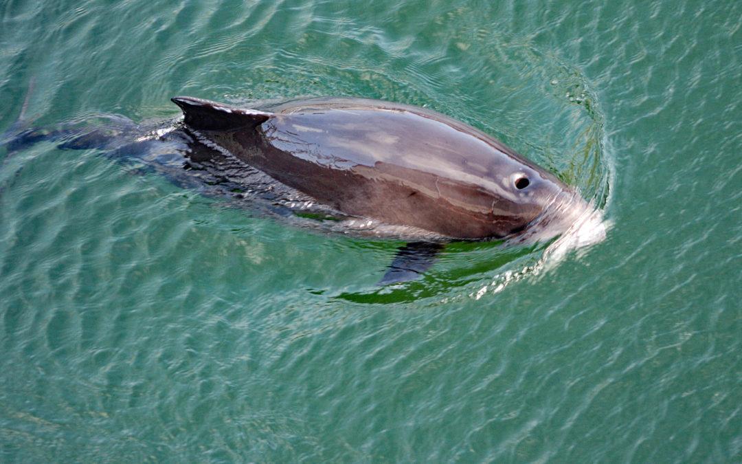 Ungewöhnliche Liaison: Junger Schweinswal schwimmt mit Delfinen
