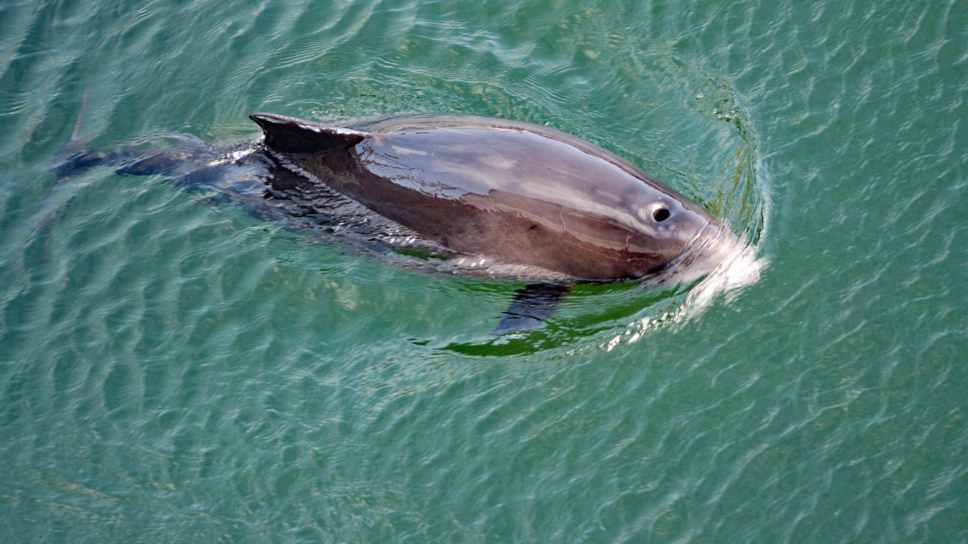 Das Sterben der Ostsee-Schweinswale: Wie lange noch?