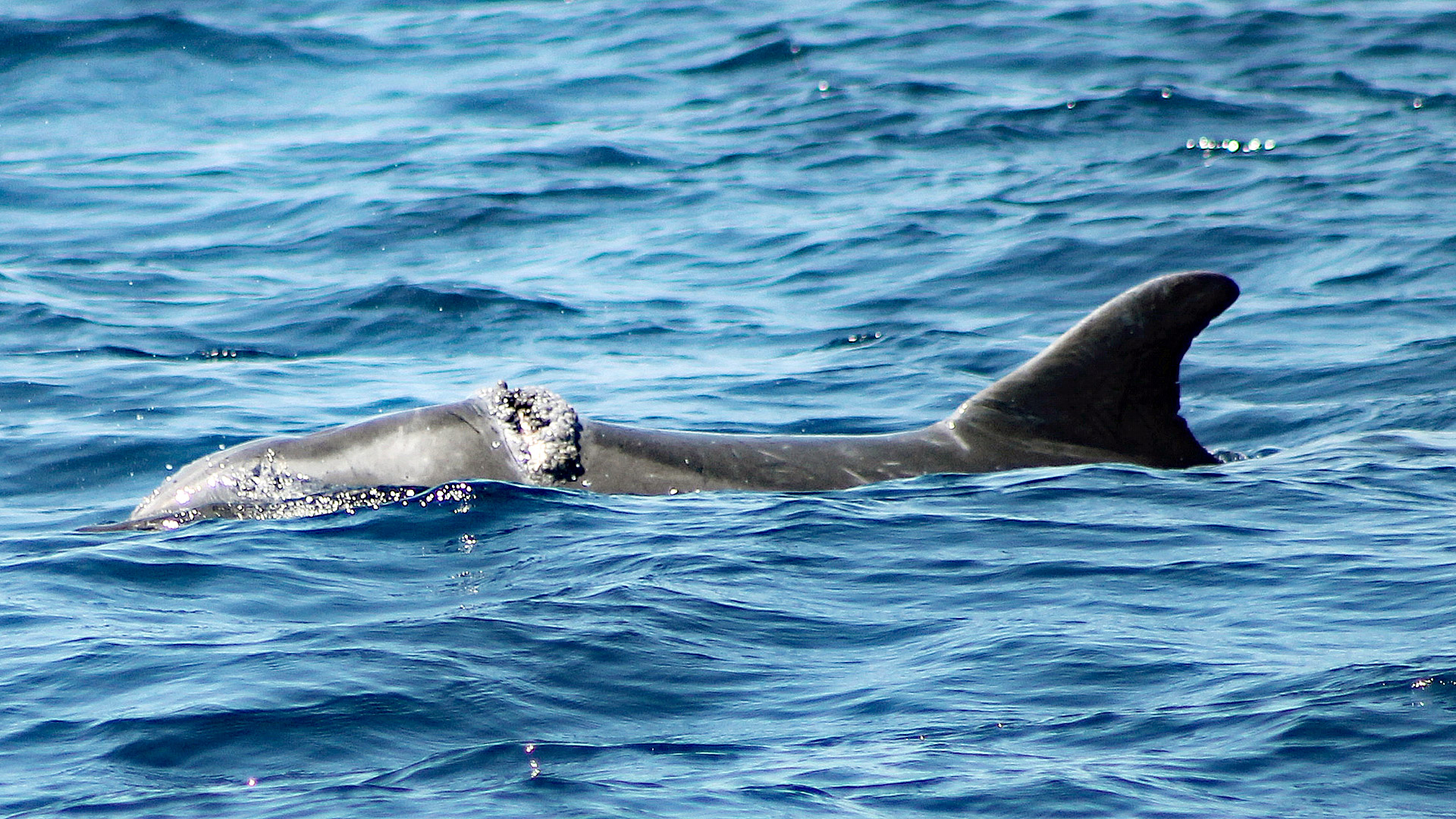 Der verletzte Delfin Kosara 2016 vor Zirje.