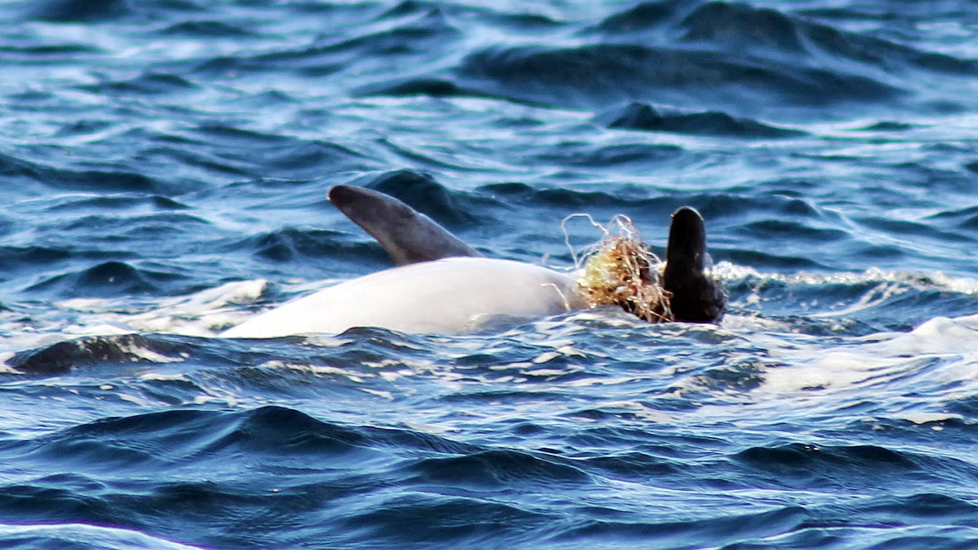 Adria-Delfin Košara mit eingewachsenen Netzresten an Flipper schwimmt auf dem Rücken.
