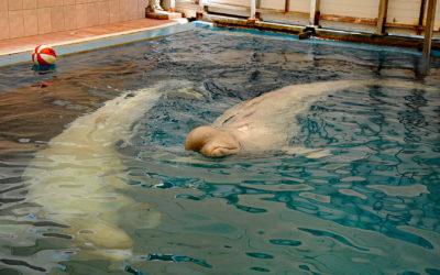 """Rettung für 100 Belugas und Orcas aus Russischem """"Walgefängnis"""""""
