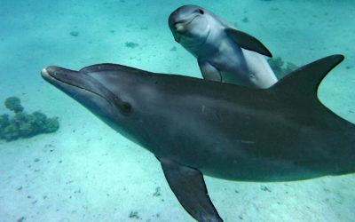 Die Rückkehr der Hurghada-Delfine