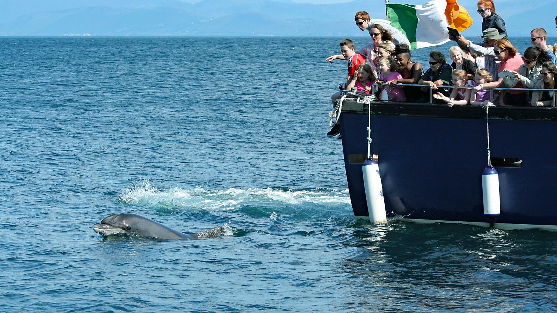 """Delfin """"Fungie"""" schwimmt munter voran, gefolgt von einem Ausflugsboot."""