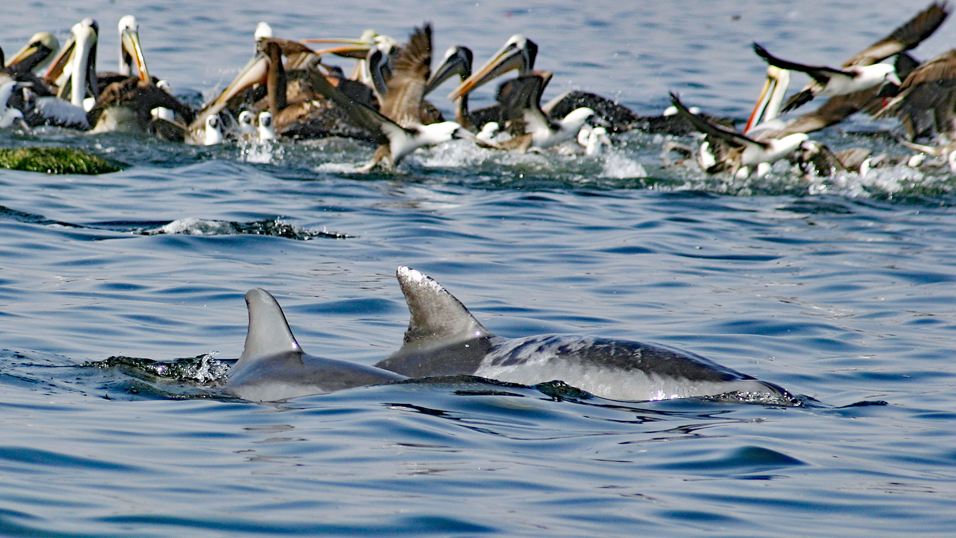 Paracas Delfine mit Pelikanen.