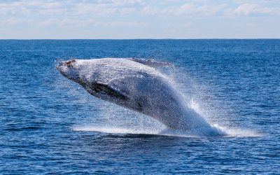 Jetzt auch Buckelwale!