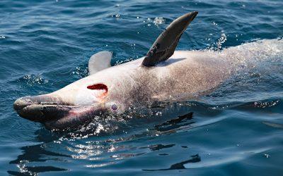 Vom Leben und Sterben der Adria-Delfine