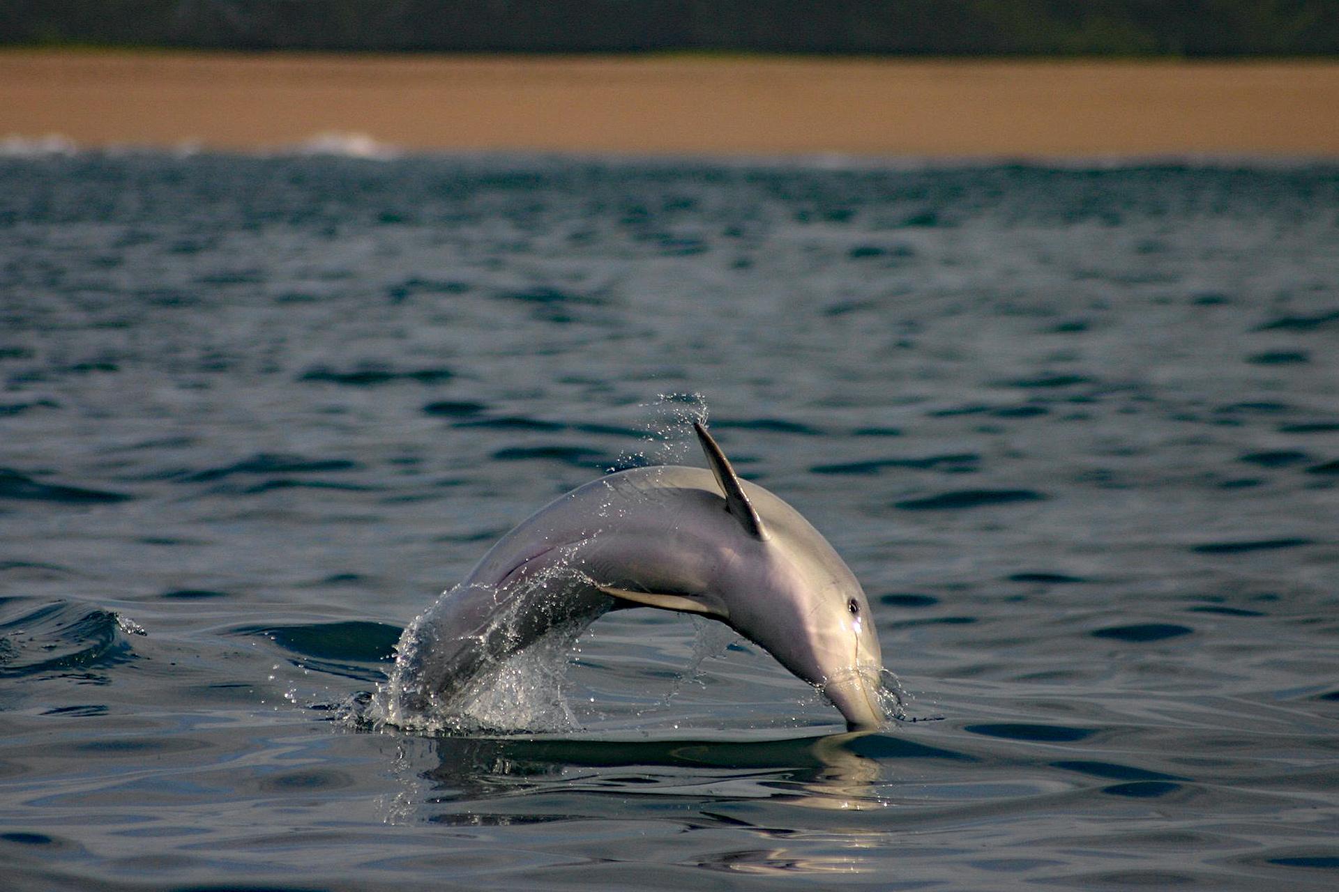 Bleifarbener Delfin Im Sprung vor Richards Bay.