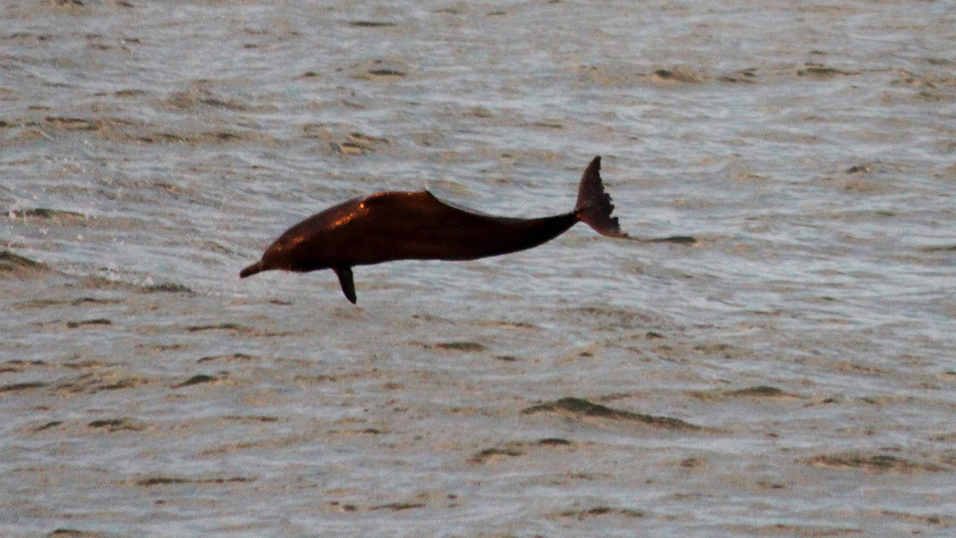 Bleifarbener Delfin G'n fin vollführt Schraubendrehung.