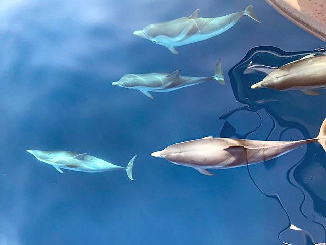 Gemeine Delfine im Ionischen Meer.