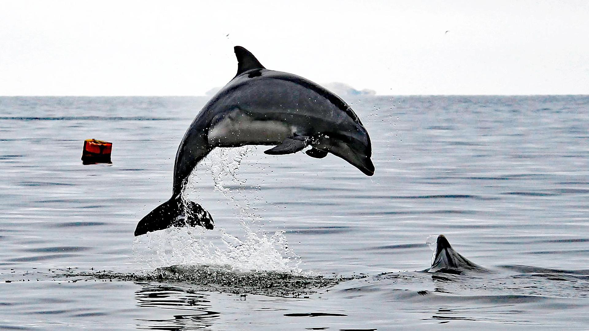 Delfinschutzprojekt Peru: Große Tümmler in der Paracas-Bucht.