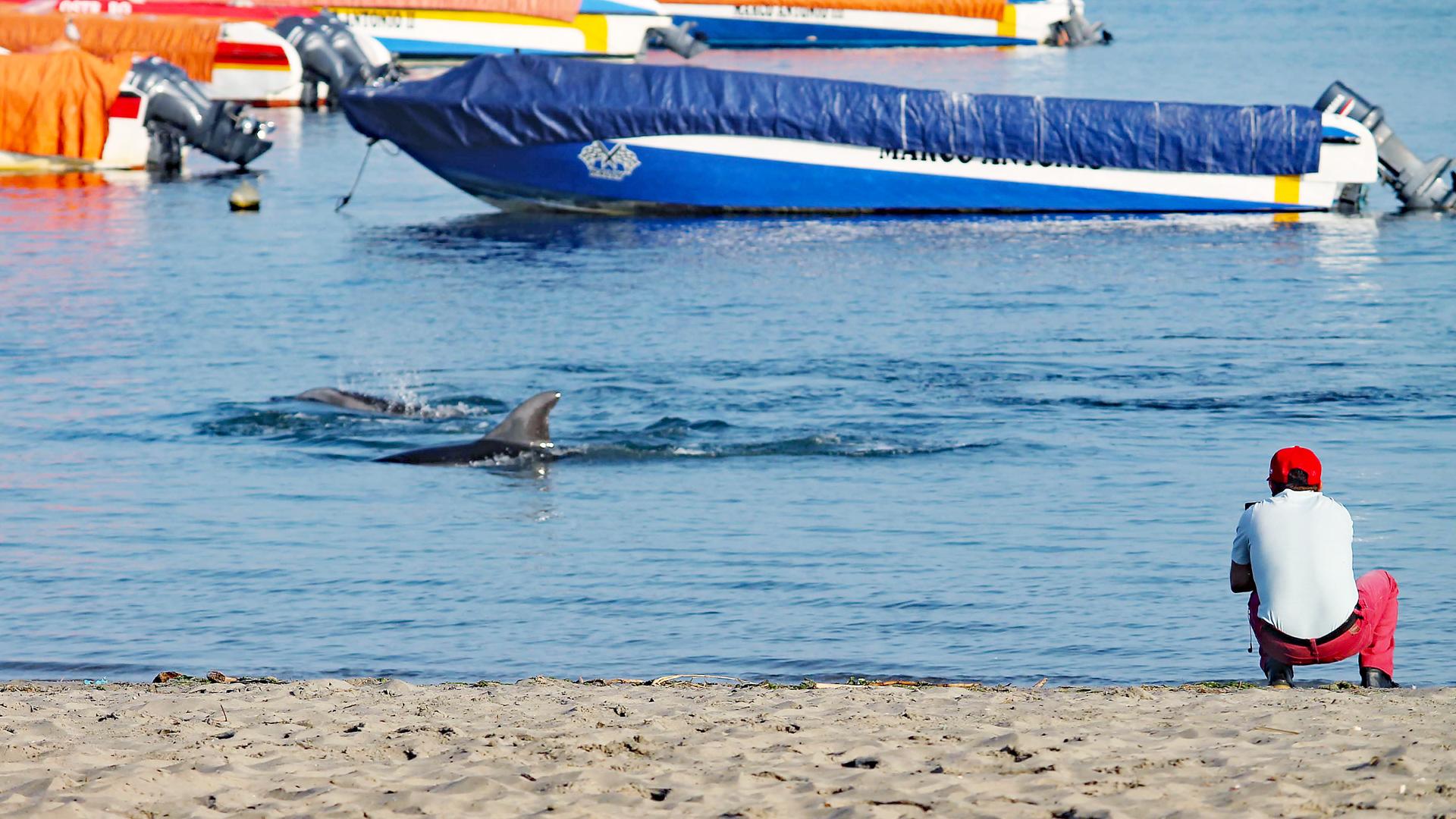 Zwei Paracas Delfine Schwimmen nah am Strand.