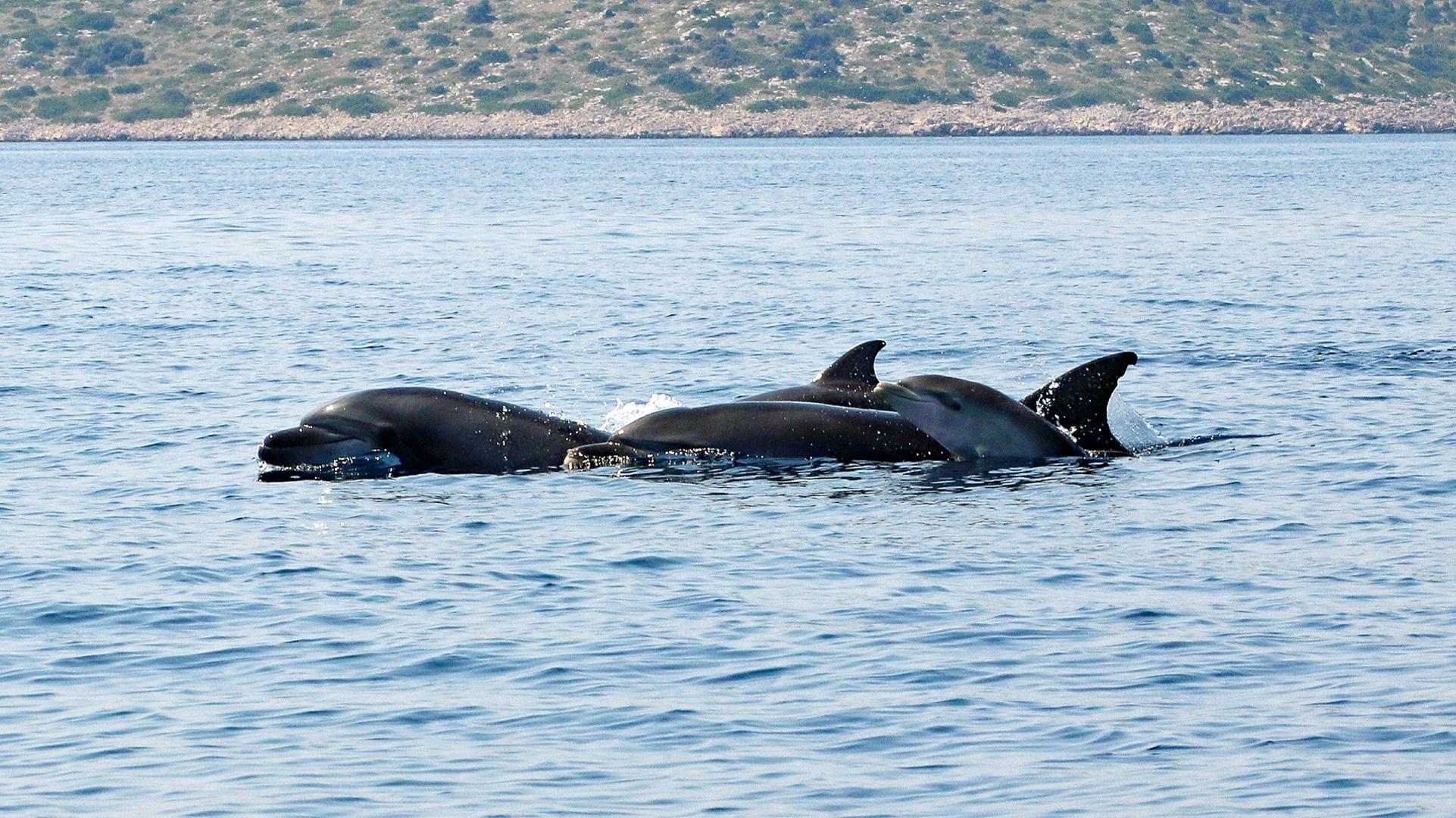 Delfinsichtung Adria bei Tisno
