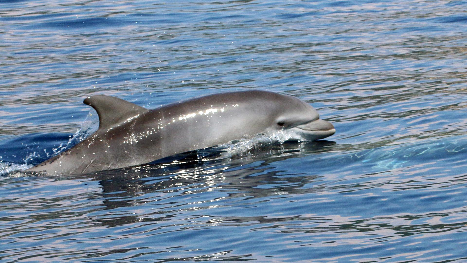 Delfinsichtung Adria bei Tisno.