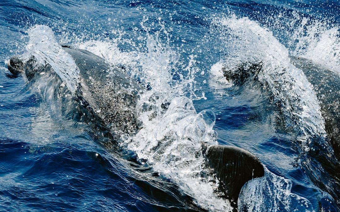 Verspielte Delfine in der Ägäis