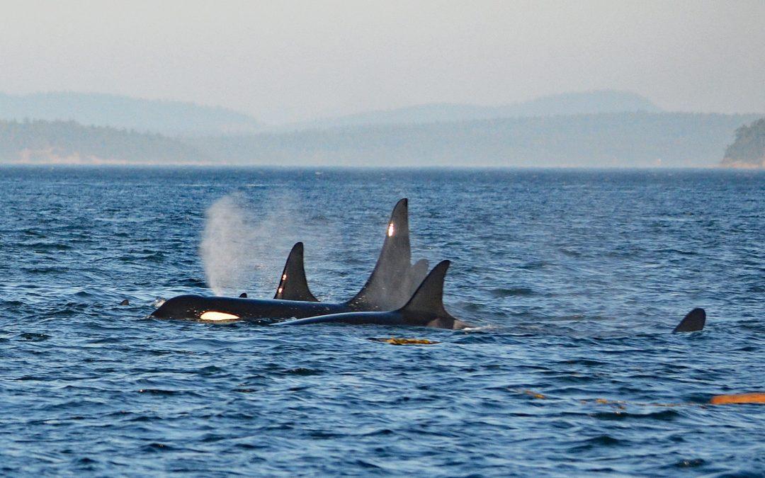 Orcas im Mittelmeer bei Genua und Sizilien gesichtet