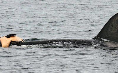 Schwertwale: Trauernde Orcas tragen totes Baby zu Grabe