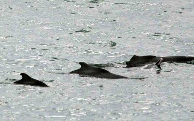 Bleifarbene Delfine vor Richards Bay: Bericht vom Sichtungs-Team