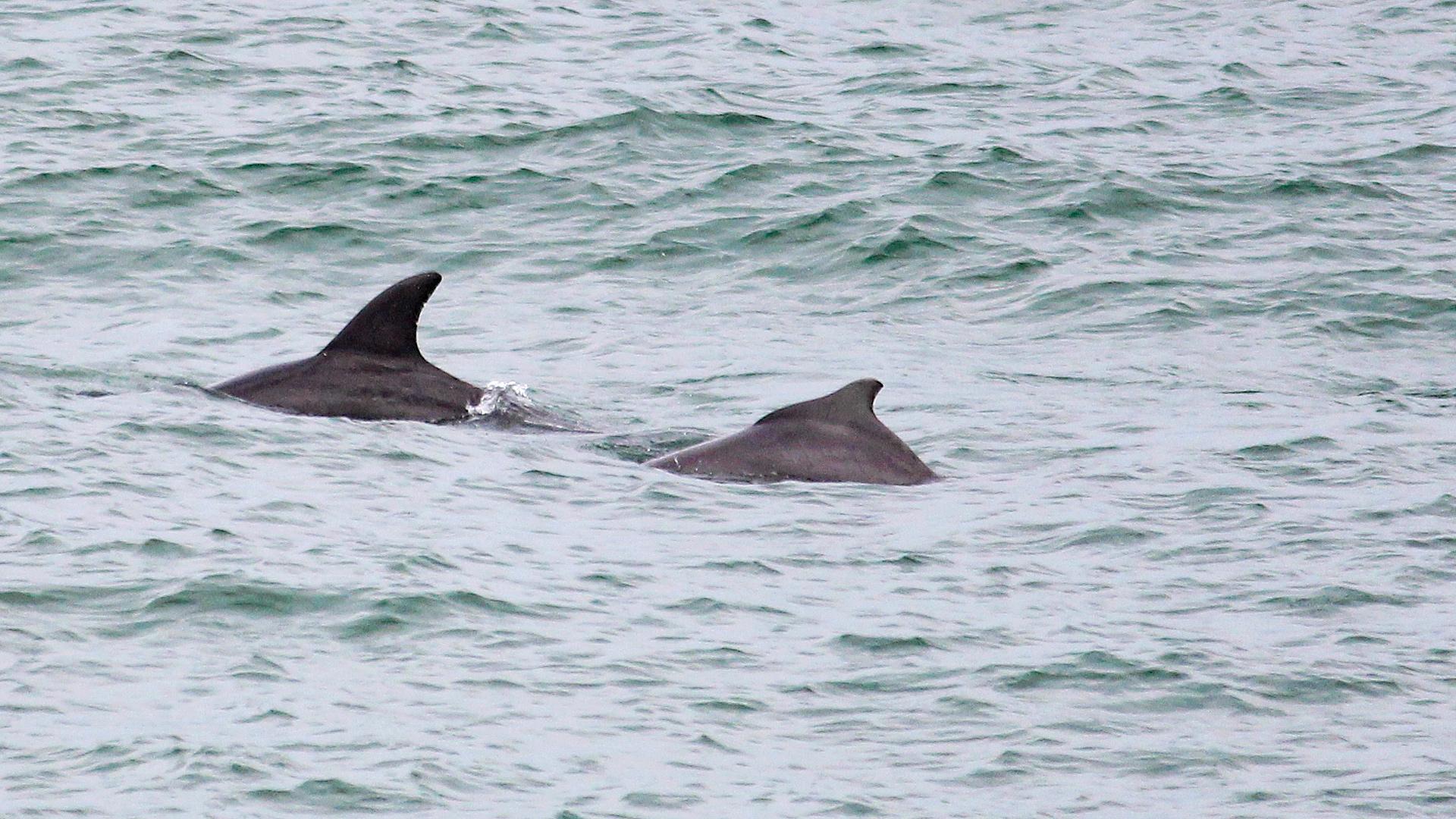 Ein Großer Tümmler und ein Bleifarbener Delfin schwimmen hintereinander.