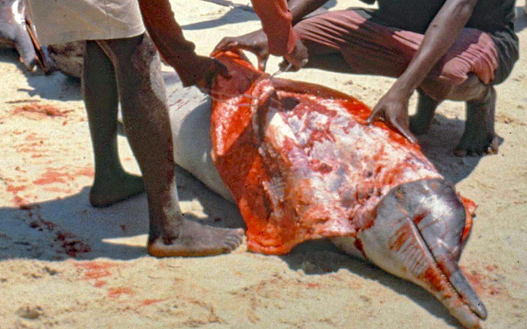 Delfine: geliebt – gejagt – getötet – Die Mörder sind unter uns