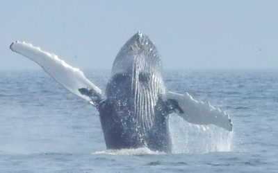 Delfine und Buckelwale – Report vom Sichtungs-Team