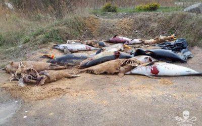 Delfinmassaker im Golf von Biskaya