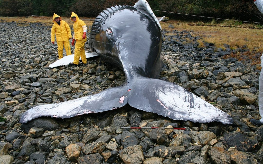 Akute Bedrohung: Walstrandungen nehmen zu