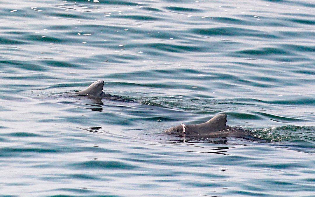 Delfinnachwuchs vor Richards Bay – Report vom Sichtungs-Team