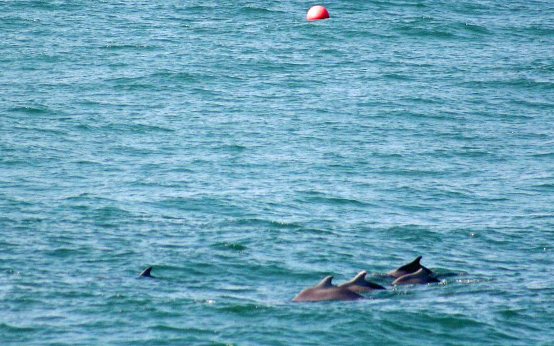 Aufregende Delfinsichtungen  – Report vom Sichtungs-Team