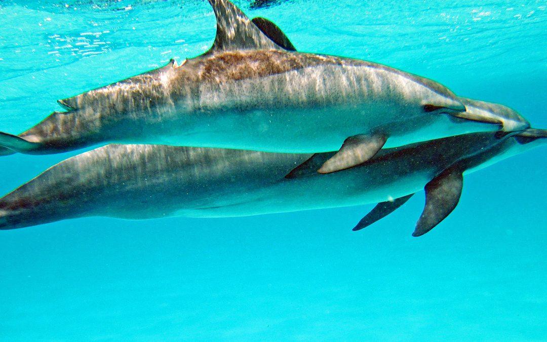 Schwimmen mit wilden Delfinen – Massentourismus vertreibt Delfine aus ihrem Lebensraum!