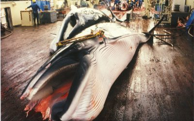 Kommerzieller Walfang in Japan
