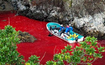Japan: Die grausame Delfinjagd in Taiji beginnt wieder