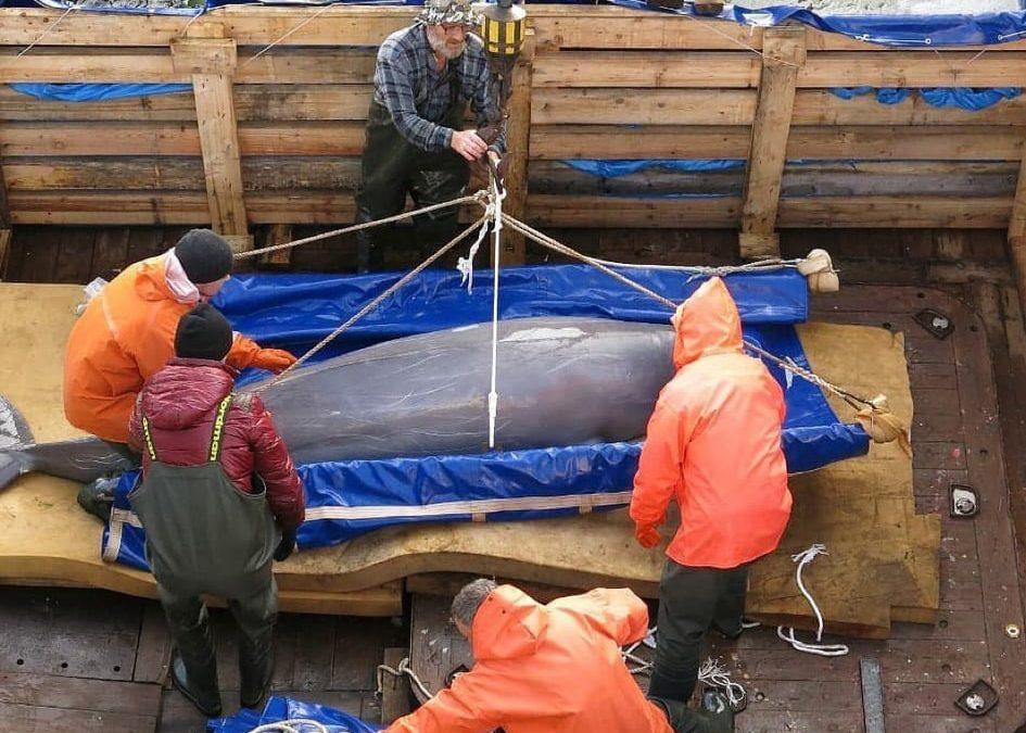 """Russisches """"Wal-Gefängnis"""": Weitere Auswilderungen von Belugas"""