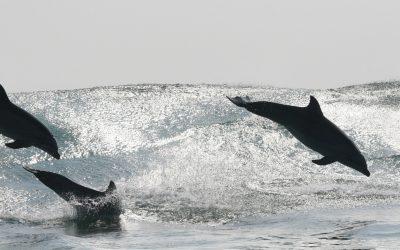 20 Jahre Delfin-Monitoring auf der Paracas-Halbinsel
