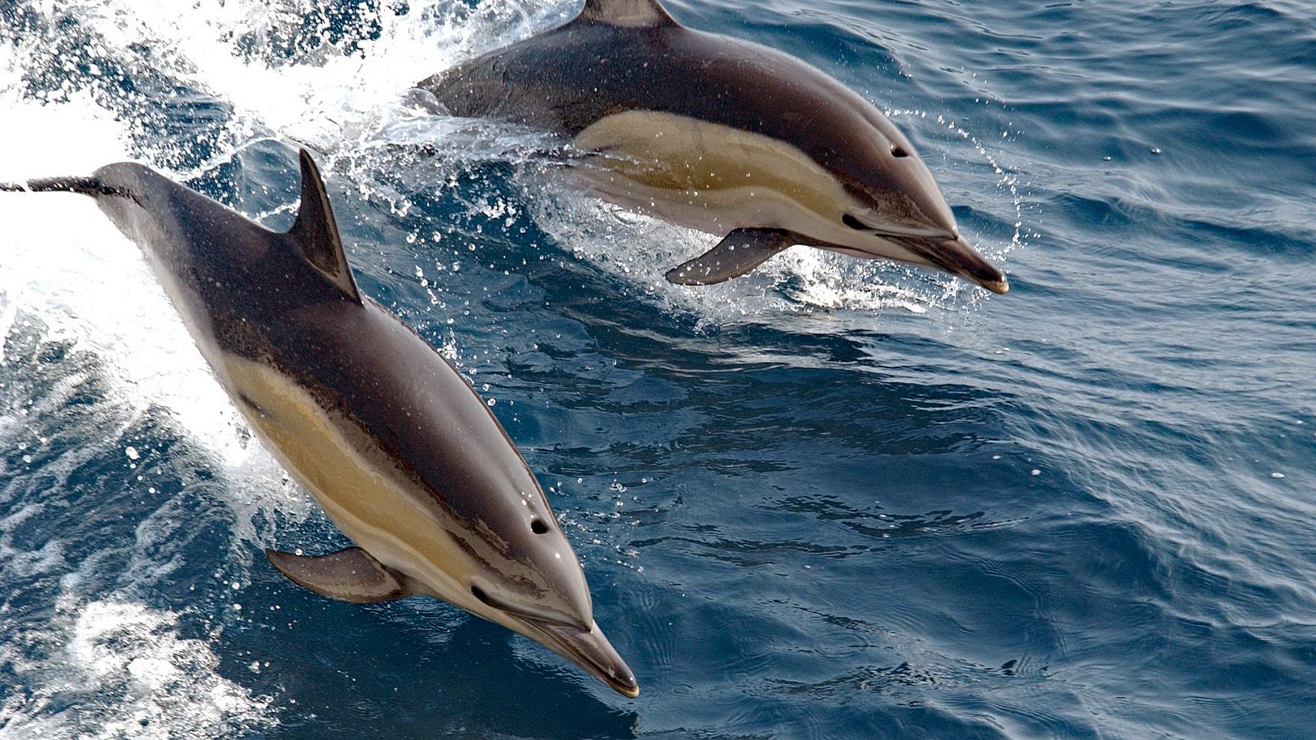 Delfinmassaker im Golf von Biskaya: jedes Jahr tausende toter Gemeiner Delfine.