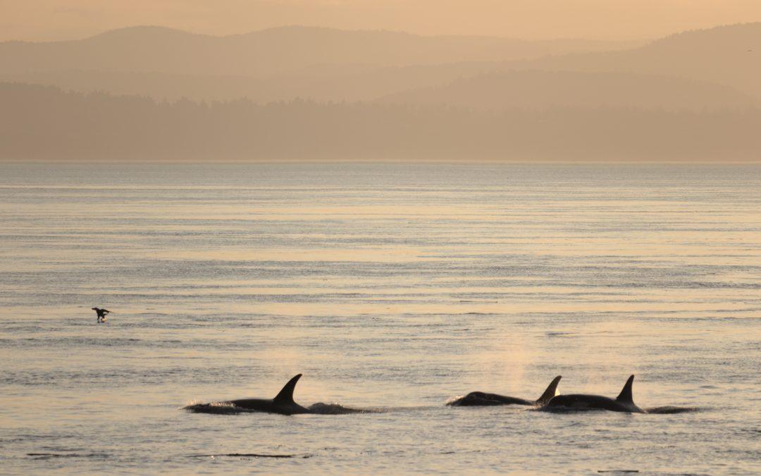 Kanada verschärft Gesetze zum Schutz von Orcas
