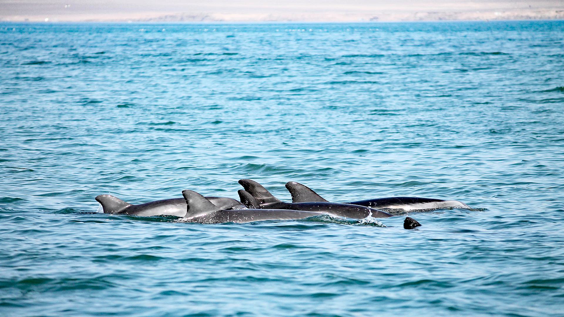 Delfinschutzprojekt Peru: Delfingruppe in der Paracas Bucht.