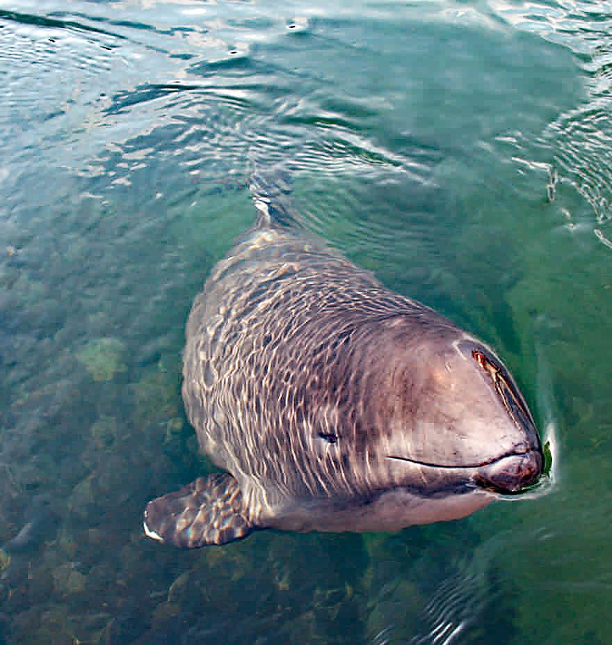 Patenschaften für Ostsee-Schweinswale