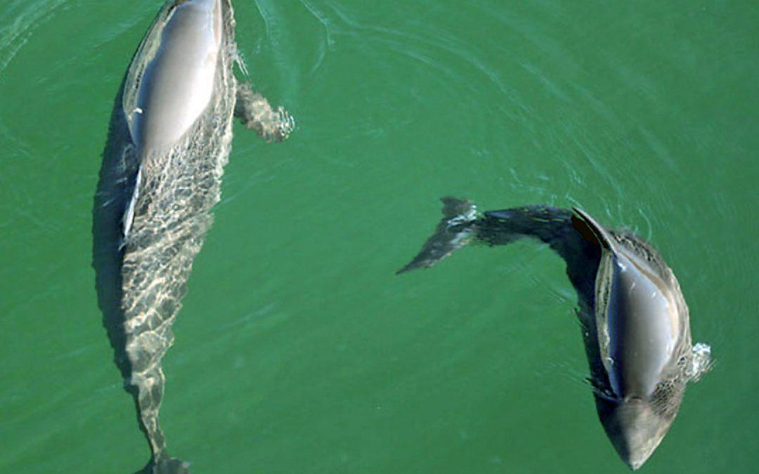 Geisternetze bergen – Ostsee-Schweinswale schützen