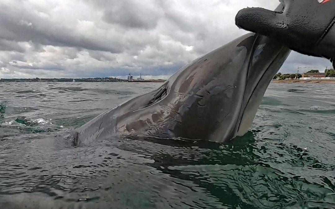 Tod des Eckernförder Delfins: Overtourism mitverantwortlich