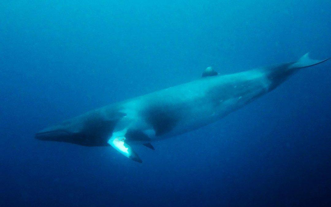 Petition gegen Wal-Experimente in Norwegen