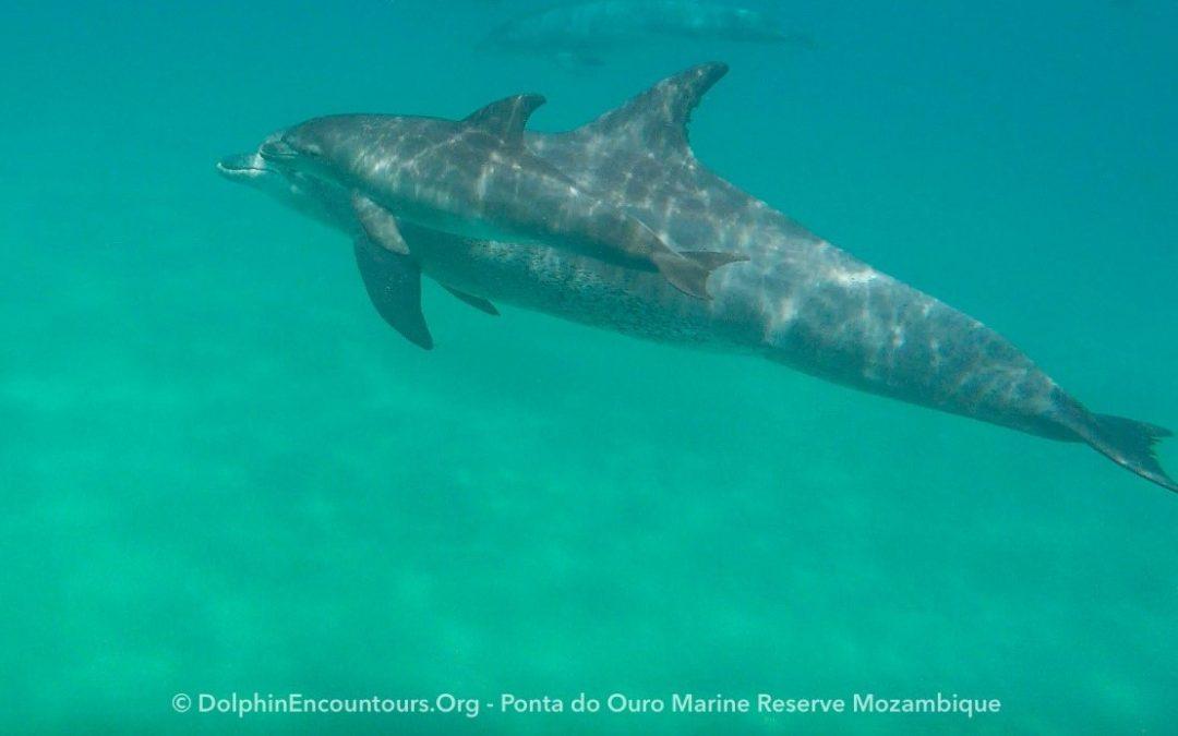 Delfine in Mosambik während der Corona-Pandemie