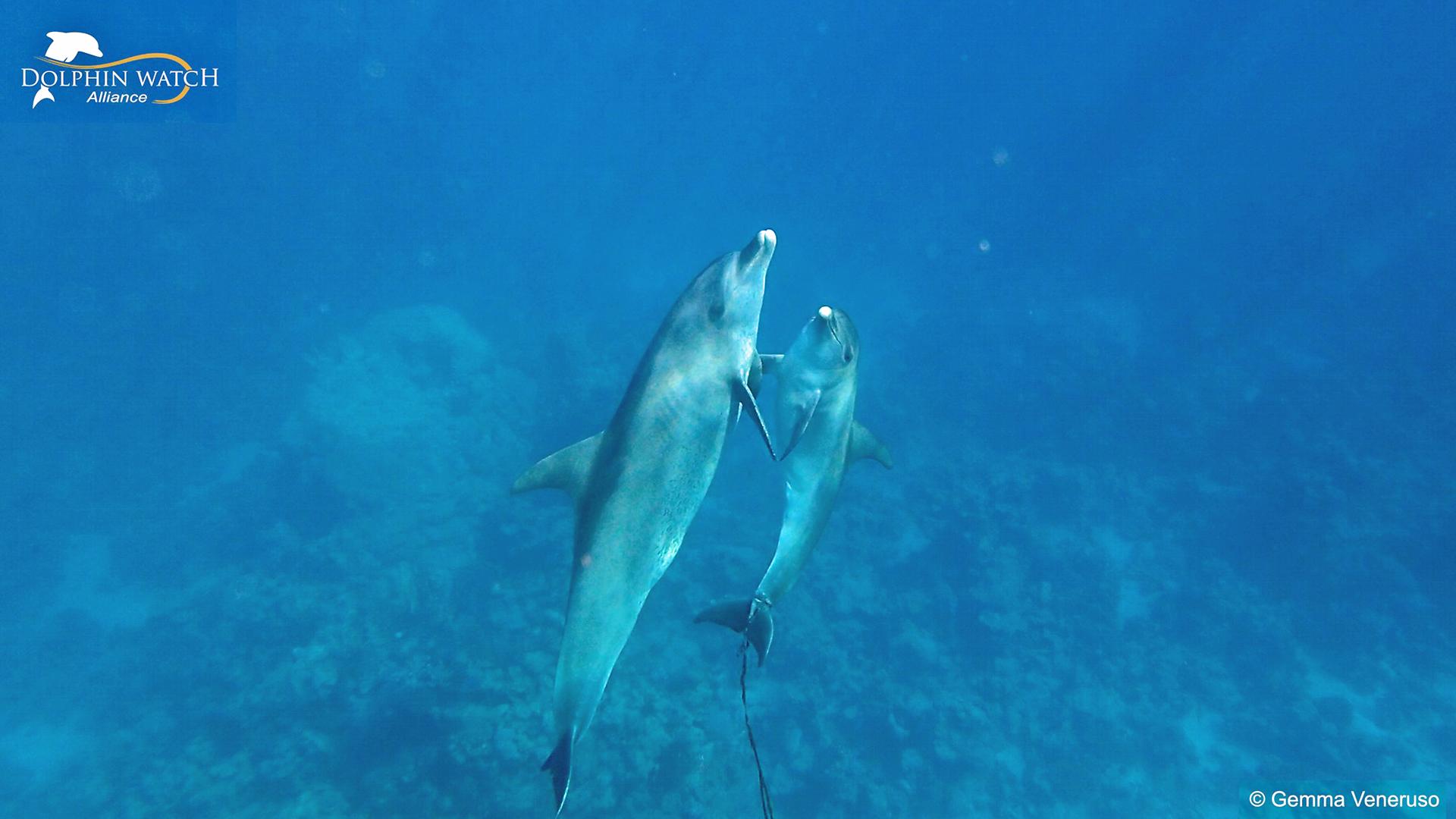 Der kleine Delfin Latif mit seiner Mutter Lea in engem Körperkontakt.