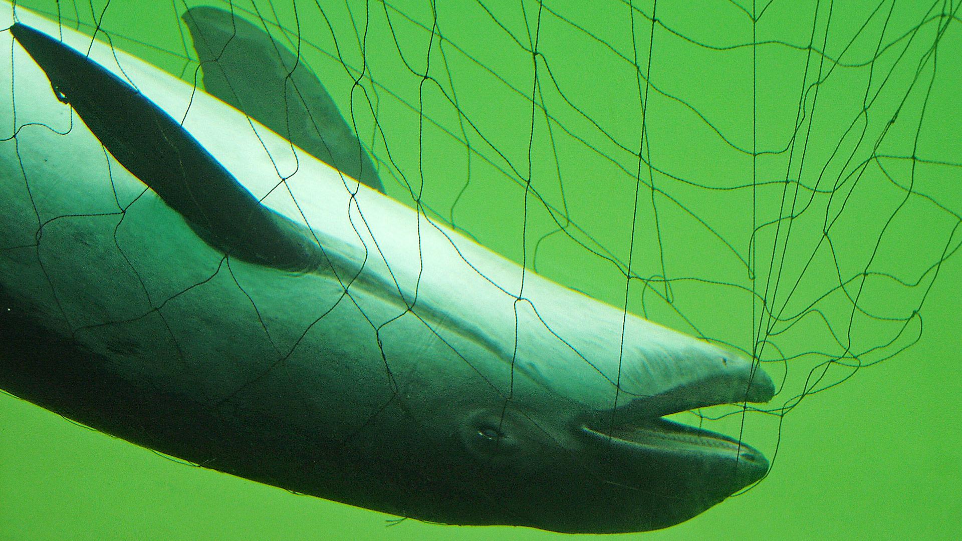 Opfer eines Speedboots? Schweinswal mit tödlichen Schraubenverletzungen.